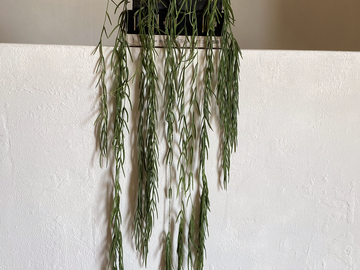 "Selling: RARE Collector's Mature Hoya Linearis 4 ft Long! ~ 6"" Pot"
