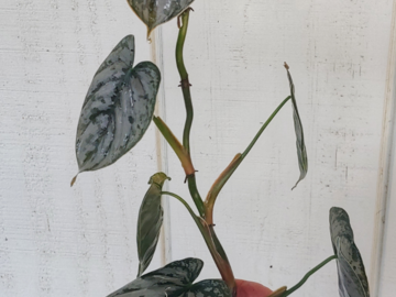 Selling: Philodendron Brandtianum