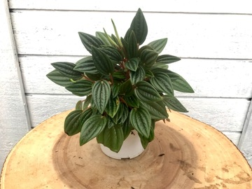 Selling: Peperomia rosso