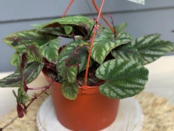 Selling: Cissus Discolor 'Begonia Rex Vine'