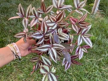 "Selling: Tradescantia zebrina in 6"" pot"