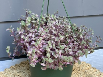 Selling: Callisia repens 'Pink Panther'