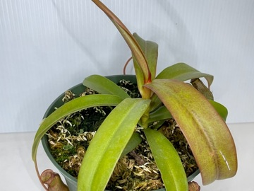 Selling: Nepenthes/ pitcher plant