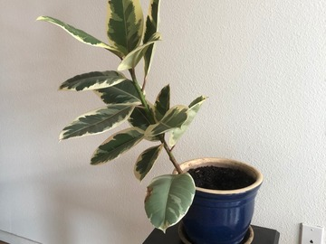 Barter: Variegated Rubber Ficus