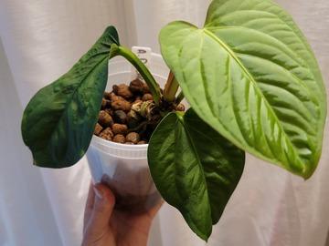 Selling: Anthurium Pulcachense
