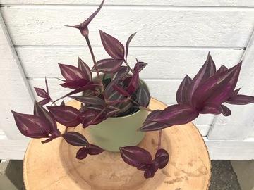 Selling: Tradescantia zebrina in green ceramic pot