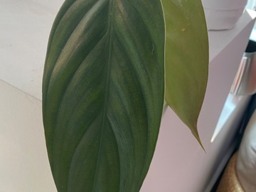 Selling: Philodendron Burle Marx Fantasy