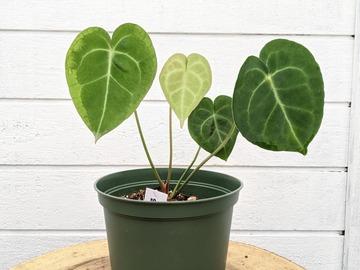 Selling: Anthurium clarinervium