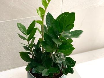 Selling: Zz plant in green ceramic pot