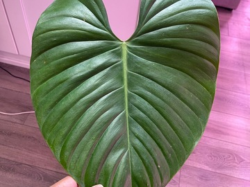 Selling: Philodendron Lynamii