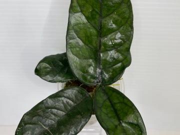 Selling: Hoya Villosa Cao Bang