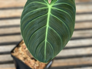 Selling: Philodendron melanochrysum