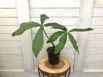 Selling: Anthurium Pseudoclavigerum