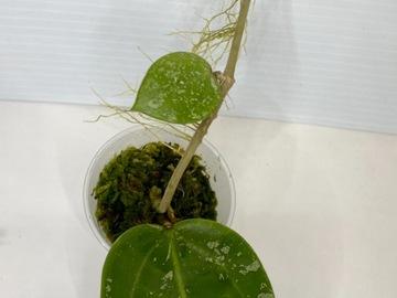 Selling: Hoya Verticillata/ Parasitica splash #2