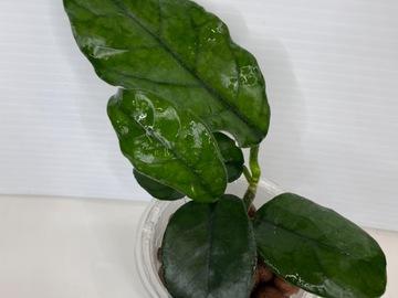 Selling: Hoya Villosa Cao Bang #2