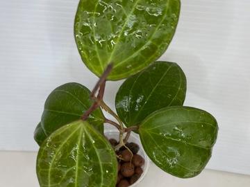Selling: Hoya Sarawak #2
