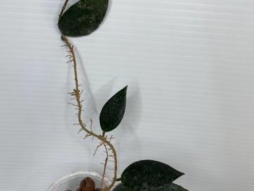 Selling: Hoya Caudata Sumatra