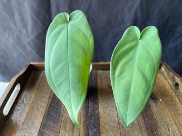 Selling: Syngonium Macrophyllum