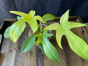 Selling: Philodendron Florida Ghost Mint #2