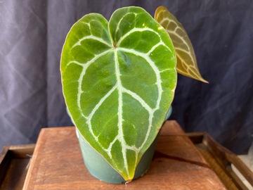 Selling: Anthurium Crystallinum 2 leaves