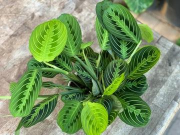 Selling: Lemon lime maranta prayer plant