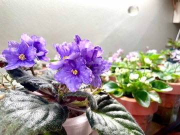 Selling: African violet Streptocarpus 'Ma's Toxic Spill'