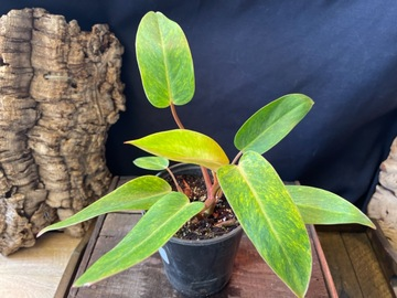 Join wait list: Philodendron Painted Lady