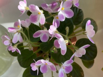 Selling: African violet Saintpaulia 'Morgan's Declan Duff'