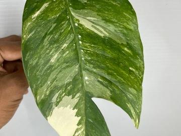 Selling: Epipremnum pinnatum variegated cutting #1