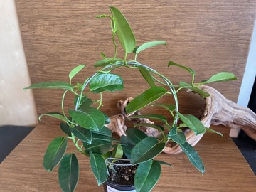 Selling: Madagascar Jasmine