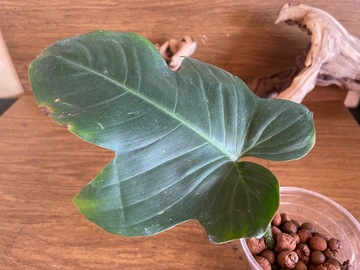 Selling: Philodendron Squamiferum fully rooted