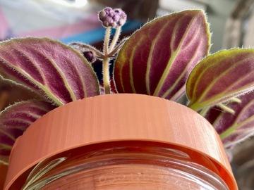 Selling: African violet Saintpaulia 'Imp's Billowing Cloak'
